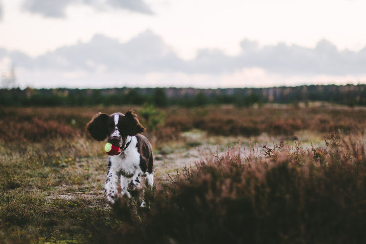 Close-up portrait of english springer spaniel at grassy field