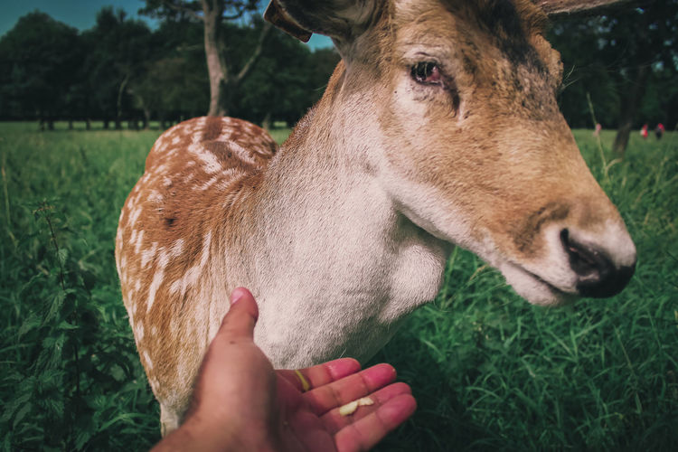 Close-up of hand touching deer on field