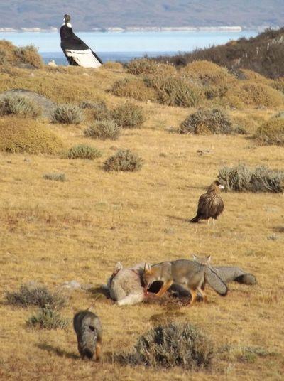 zooros comiendo una oveja en Torres del Paine Patagonia, chile. TorresDelPaine Patagonia Puertonatales