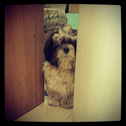 Good Morning Bruno. :) WHPhideandseek Dog Hello Mehehe