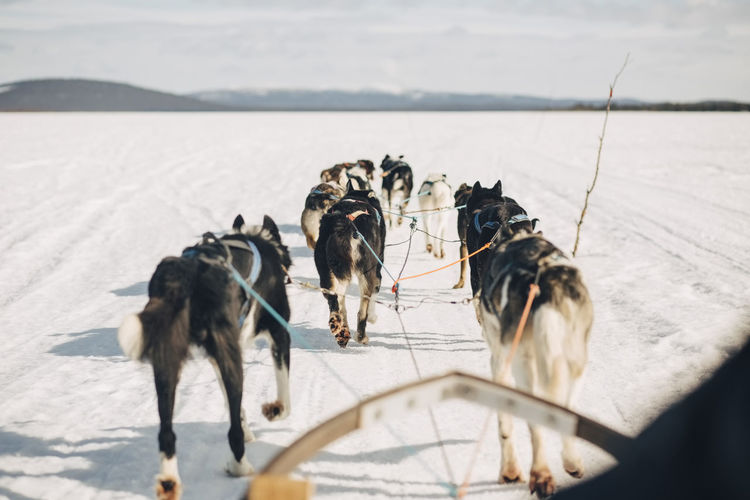 Dogs standing on snow covered landscape during winter