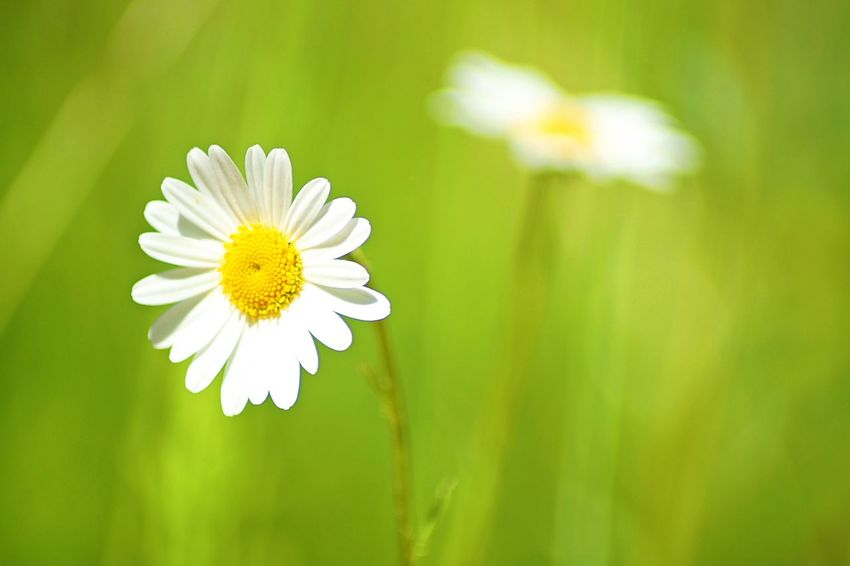 Beauty In Nature Blooming Close-up Daisy Day Flower Flower Head Focus On Foreground Fragility Freshness Grass Green Color Growth Mageriten Nature No People Outdoors Petal Plant Pollen Springtime White Color Wildflower Yellow