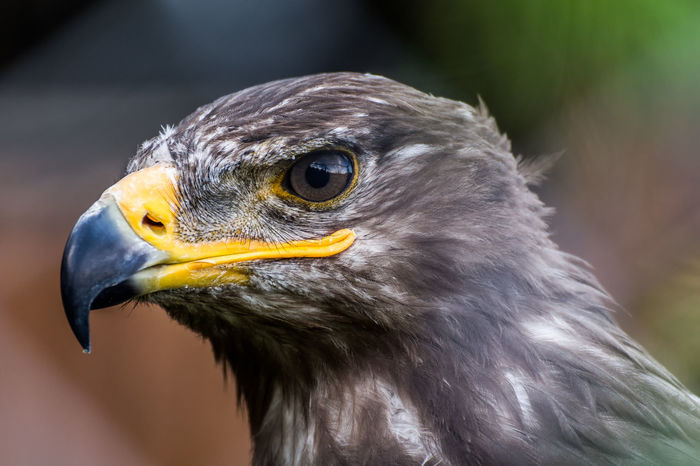 Bird Photography Birds Eagle Feather  Hawk Raptor