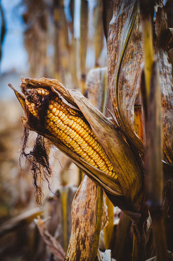 Close-up Focus On Foreground No People Plant Corn Food Day Food And Drink Nature Agriculture Crop  Outdoors Selective Focus Corn On The Cob Field Growth Healthy Eating Beauty In Nature Freshness Dry