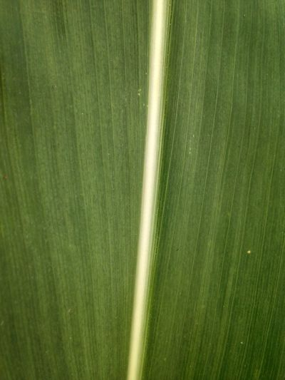 Design Vertical Macro Corn Texture Green Color No People Growth Plant Beauty In Nature Backgrounds Nature Farm Outdoors Rural Scene Tranquility Environment Cereal Plant Crop  Day Land Landscape Agriculture Field Full Frame