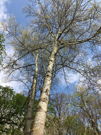 Birch Plant Tree Low Angle View Sky Beauty In Nature No People Nature