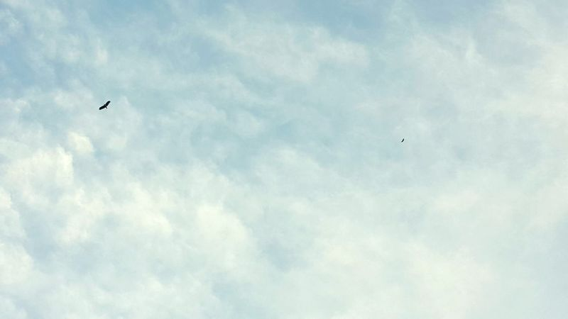 Eagles Sky And Clouds Blue Sky Evenings Bythesea Spore Soaring Soaring Up Above Mightybirds Flying Bird Cloud - Sky Spread Wings Outdoors