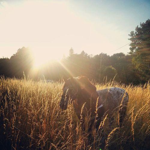 Weil du die Liebe meines Lebens bist! 😍 Horse Best Horse My Little Pony I Love You Pferd Pony Sommer Sonnenuntergang Sunset In Love