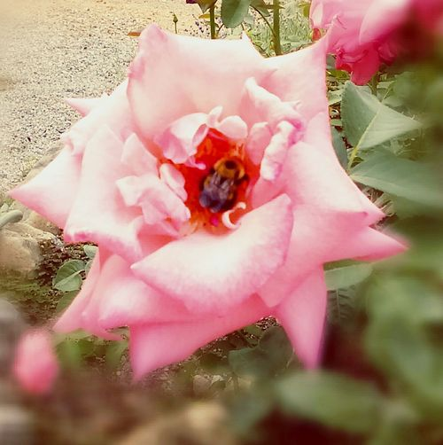 Work to the death. Bumblebee Workerbee Bee Working Nattura Pollination In Action Pollination Rosé Buzzing Bee Pink Rose