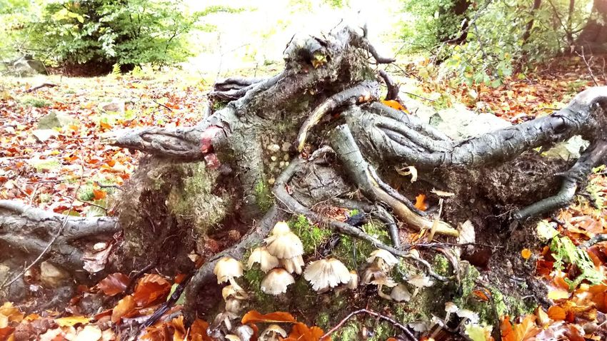 Mushrooms on tree stump Nature Mushroom Forest Forest Photography Forestwalk Mushroom_pictures Mushroomphotography Forest Floor Nature Photography Naturelovers Forest Walk Forest Path Forest Trees Forest View Statue Sculpture Close-up Dead Tree