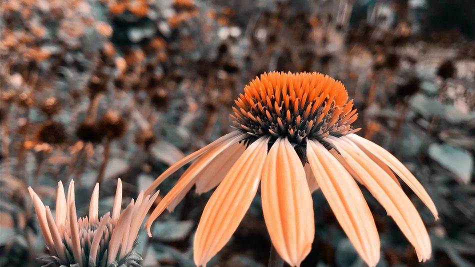 EyeEm Selects Flower Fragility Flower Head Growth Petal Coneflower Nature Beauty In Nature Freshness Plant Pollen Blooming Day Eastern Purple Coneflower Close-up No People Outdoors