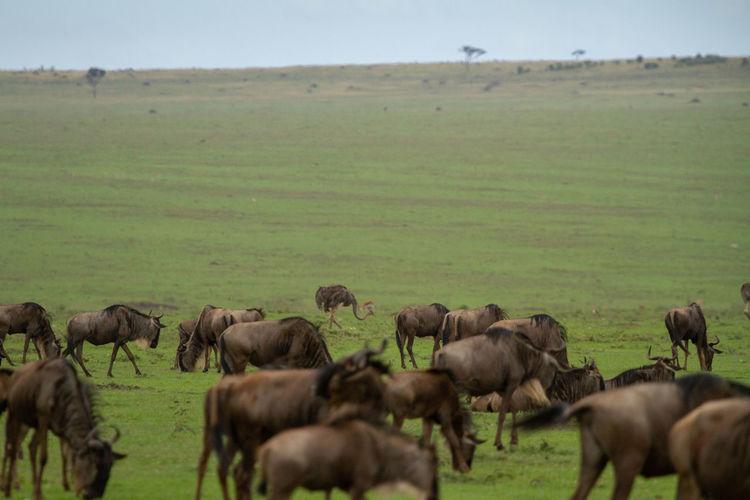 Bird behind herd of wildebeest