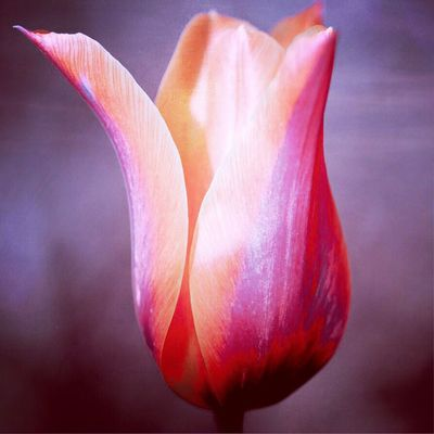 Another tulip abstract Flower Petal Fragility Beauty In Nature Flower Head Nature Growth Freshness Close-up Plant Outdoors Blooming Day No People