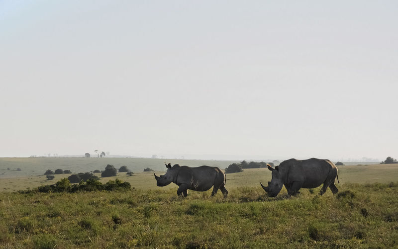White rhinoceros on grassland in South Africa. Profile view. White Rhino White Rhinoceros Outdoors No People Two Animals Landscape Environment Field Mammal Animals In The Wild Animal Themes Pair Day Profile View Endangered Animals Animal Wildlife Grassland Animal Sky Grass