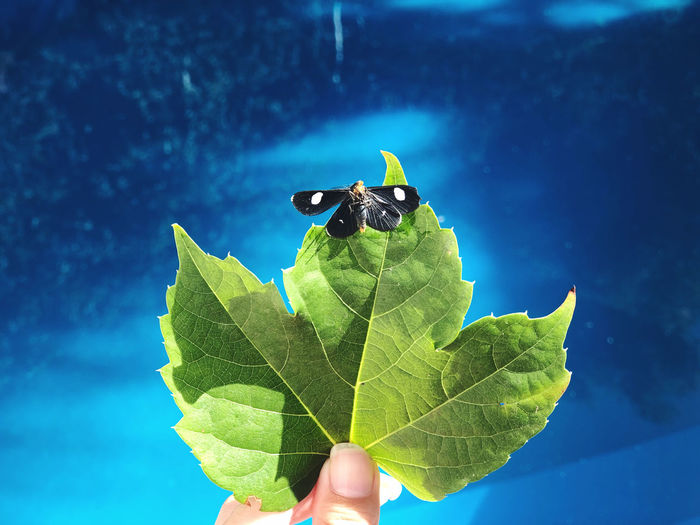 Close-up of person holding leaf against blue sky