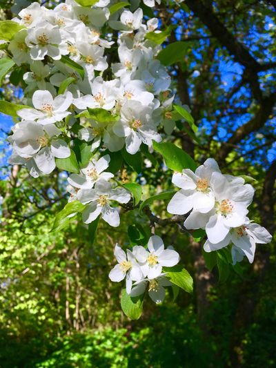 Augsburg Botanischer Garten Augsburg Spring Flower White Color Blossom Fragility Apple Blossom Beauty In Nature Flower Head Blooming
