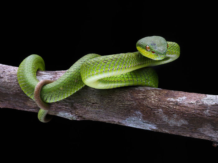 Close-up of snake on branch against black background
