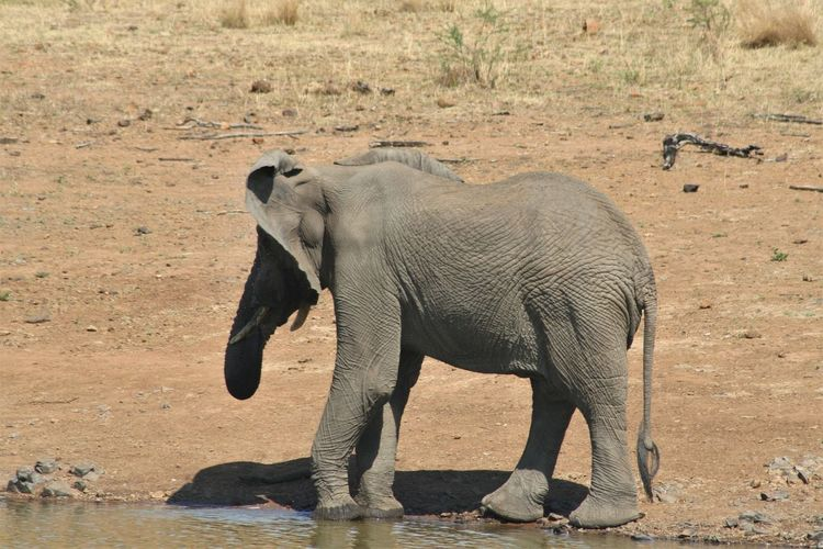 Animal Animal Themes Elephant Animals In The Wild Animal Wildlife Mammal One Animal Vertebrate Safari Full Length Standing Day Nature Animal Body Part Side View Land No People African Elephant Water Animal Trunk Herbivorous