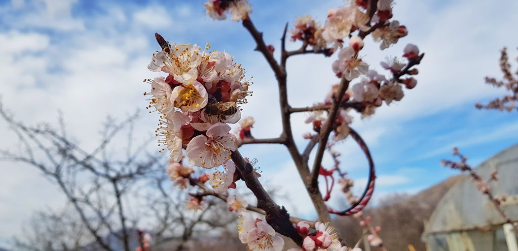 bee flying and collect pollen Tree Flower Branch Springtime Sky Close-up Cloud - Sky Almond Tree In Bloom Stamen Pollen Blooming Passion Flower Flower Head Plant Life Fruit Tree