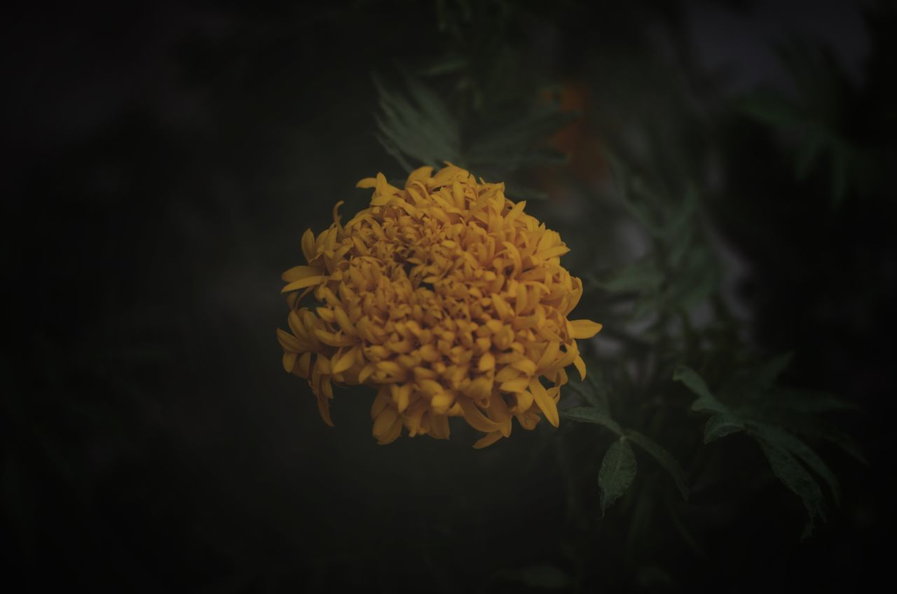 flower, flowering plant, beauty in nature, plant, vulnerability, fragility, yellow, freshness, growth, petal, flower head, close-up, inflorescence, nature, marigold, no people, focus on foreground, selective focus, night, outdoors, black background