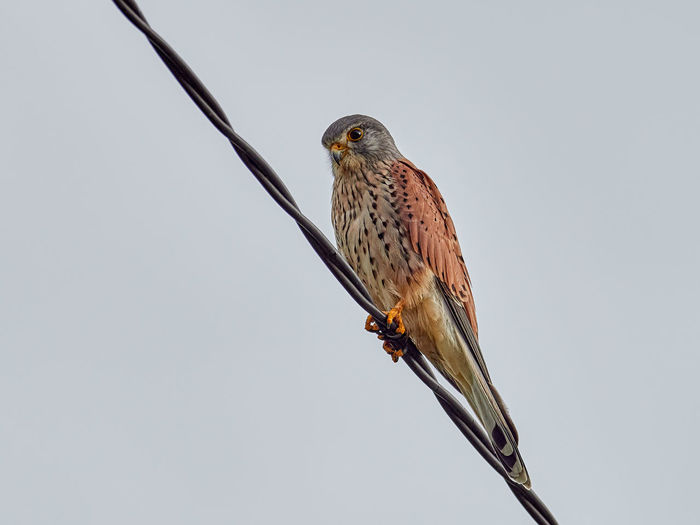 Common kestrel Animals In The Wild Vertebrate Bird Animal Wildlife One Animal Animal Perching Bird Of Prey Sky Day Nature Outdoors Kestrel Predator Beak Raptor Wildlife Wild Feather  Ornithology  Avian Hunter Outdoor Birdwatching Plumage