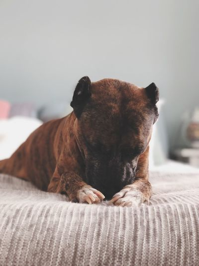 Close-up of a dog resting on bed