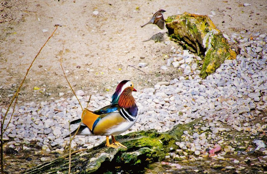 Birdwatching Mandarin Duck Color Portrait Watching Animals From My Point Of View Birds Of EyeEm  Zoophotography Nature_collection