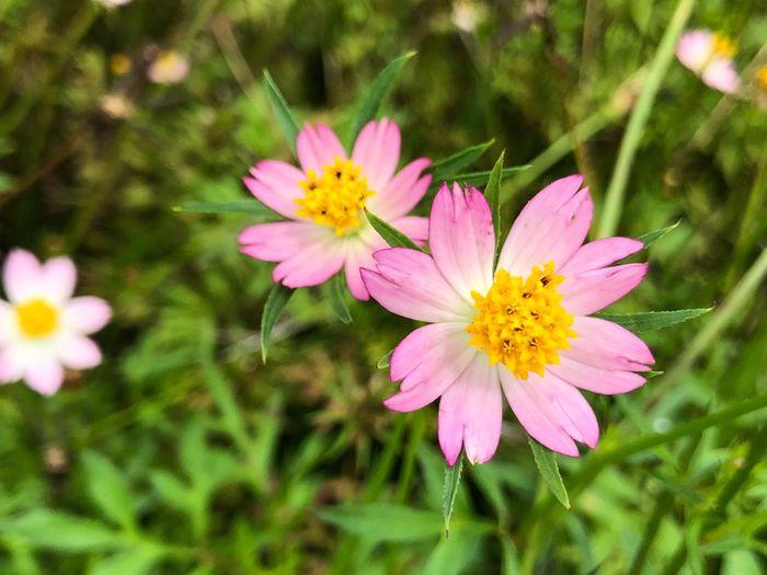 Cosmos Caudatus Farm Cosmos Caudatus Flower Ulam Raja Flowering Plant Flower Plant Freshness Fragility Petal Vulnerability  Beauty In Nature Pink Color Nature
