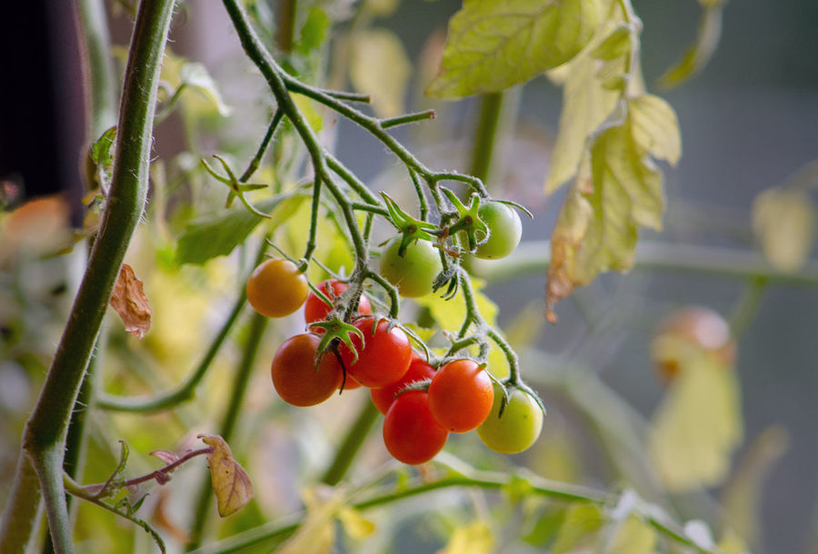 cherry tomatoes on the vine of an upside down basket Foodphotography Real Food Healthy Healthy Eating Organic Cherry Tomatoes Red Green Vegetables Home Grown
