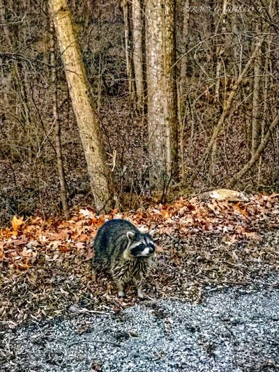 Racoon Eyes One Animal Animal Themes Nature Animals In The Wild Outdoors Forest Day Mammal