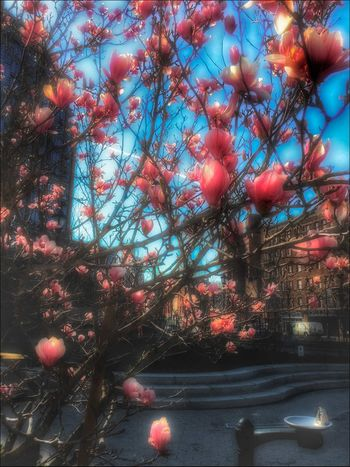 Blooming' Magnolia - 3/25/16 Available Light Photography EyeEm IPhoneography 6s EyeEm StreetPhotography, NYC IPhone Edits W/ Snapseed Nature No People Postproduction Edits PS CC2016 Tree Urban Spring Fever