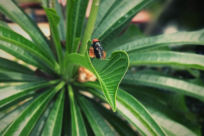 Black on green Leaf Insect One Animal Green Color Plant Nature Outdoors Day Animal Wildlife Animals In The Wild Close-up Animal Themes Insect Photography Insects  Freshness Cute Honor 8 Huawei Honorphotography Huaweiphotography Floral Photography Botany Malaysia
