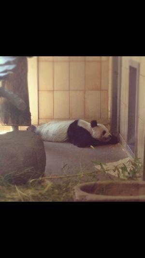 Panda?? Sweet Vienna Tierparkschönbrunn NikonD5000