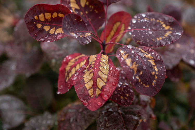 Beauty In Nature Close-up Plant Growth Nature Focus On Foreground Drop Plant Part Leaf Vulnerability  No People Day Fragility Water Wet Outdoors Selective Focus Flower Head Rain Pollen RainDrop Purity Rainy Season Leaves Cotinus Coggygria