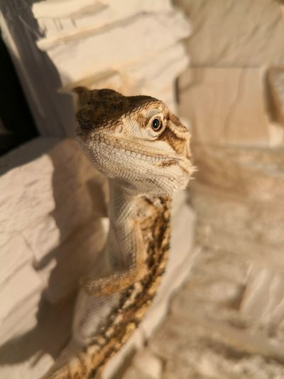 Close-up portrait of lizard on wall