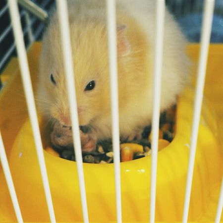 Huxley loves his berry drops. ❤ Hamster Cute Pets Syrian Hamster  My Baby Lovebug Fluff Ball