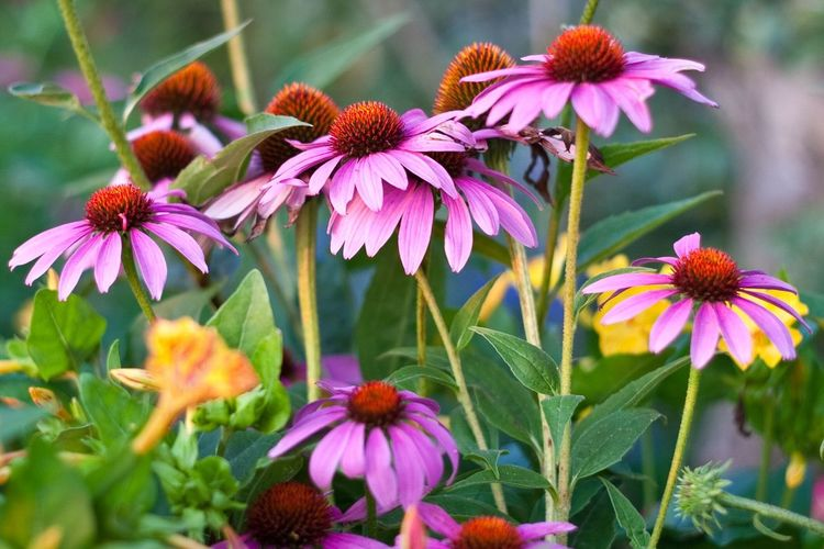 Close-Up Of Eastern Purple Coneflowers