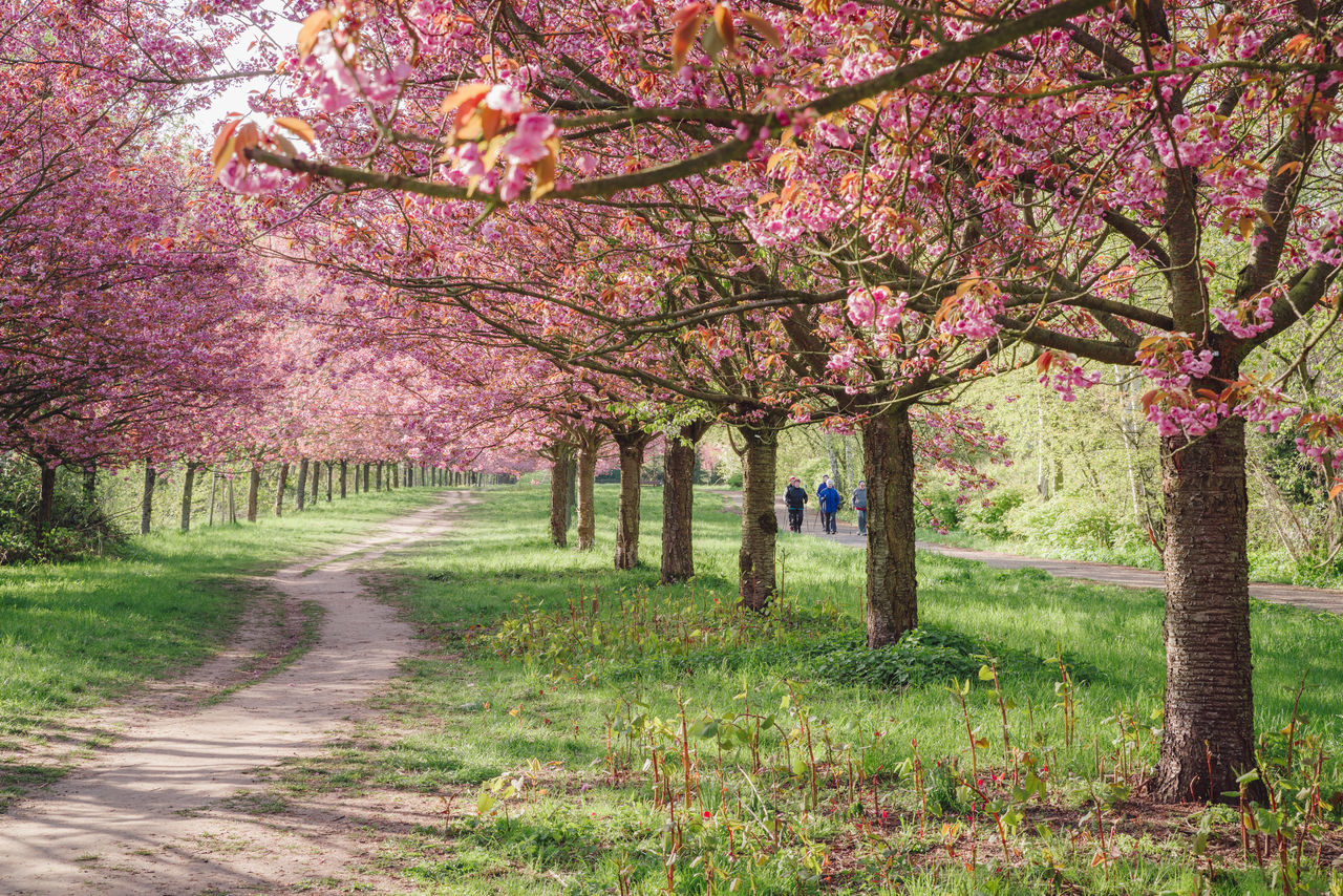 tree, blossom, flower, beauty in nature, nature, springtime, growth, almond tree, cherry tree, branch, orchard, scenics, fragility, pink color, tranquility, outdoors, no people, freshness, tranquil scene, day, grass, the way forward, walkway, tree trunk, landscape, sky
