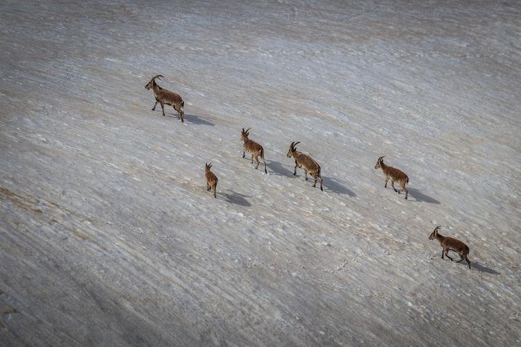 Goats Animal