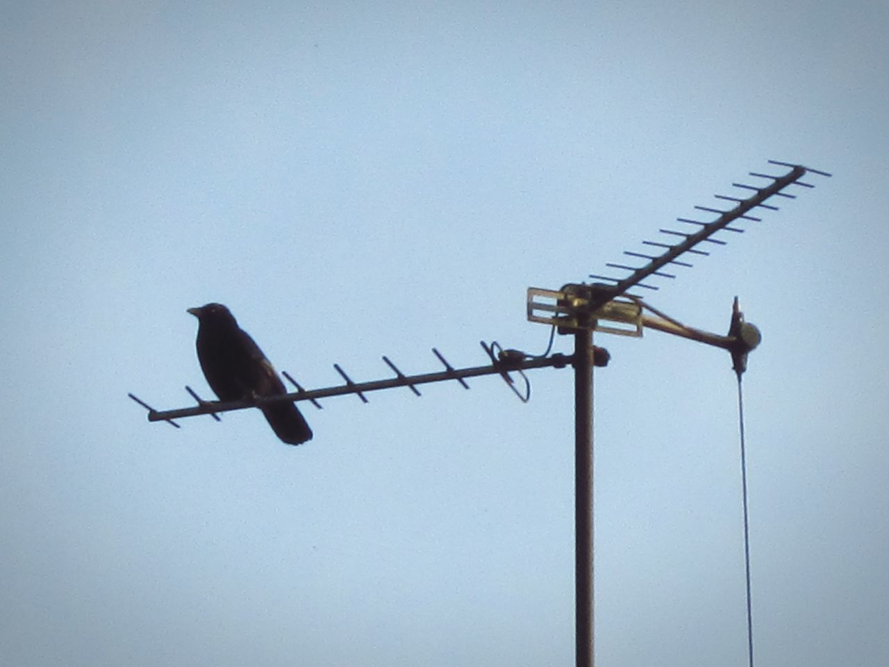 bird, animals in the wild, animal themes, low angle view, perching, clear sky, animal wildlife, copy space, one animal, wildlife, connection, no people, day, crow, outdoors, cable, raven - bird, nature, television aerial, technology, sky