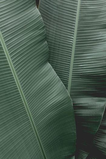 Full frame shot of banana leaves