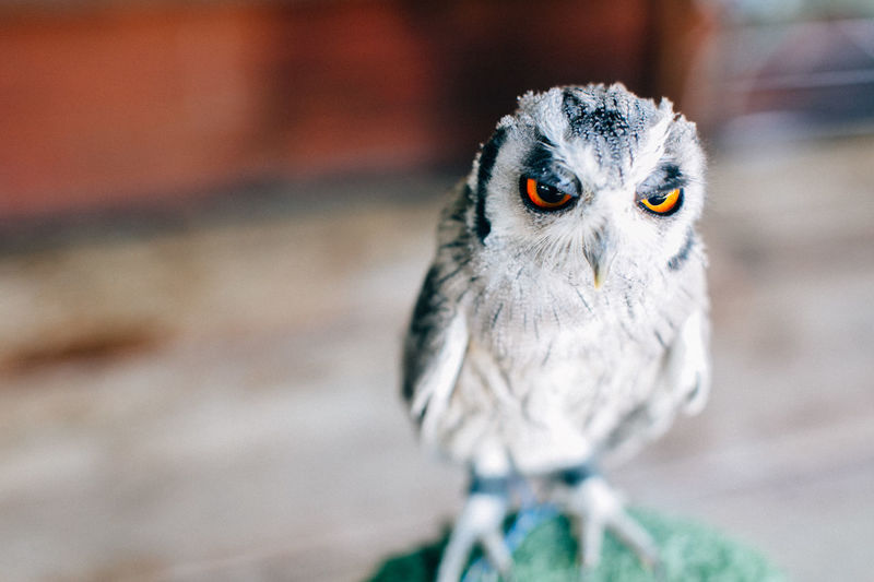 Animal Themes Animal Wildlife Animals In The Wild Beak Beauty In Nature Bird Bird Of Prey Capetown Close-up Day Eyes Focus On Foreground Kapstadt Looking At Camera Nature No People One Animal Outdoors Owl Perching Portrait South Africa Wisedom