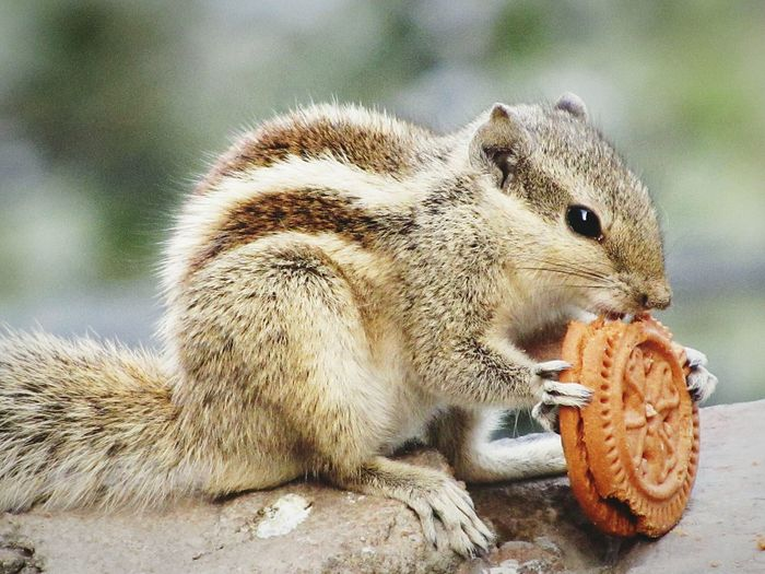Squirrel Eating Biscuit Time Pastel Power Food Hungry !!! Cute Animals Innocence Love Animals💕