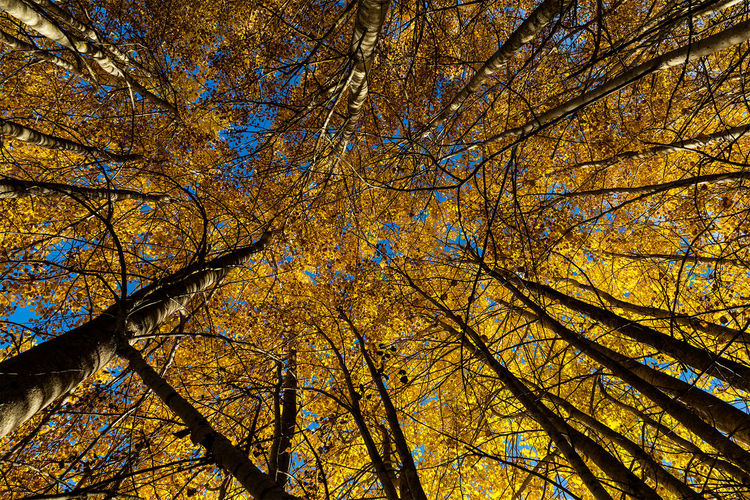 The sky's the limit! Aspen trees in autumn colours. Aspen Trees Autumn Autumn Colors Autumn Leaves Beauty In Nature Blue Branch Low Angle View Majestic Nature Outdoors Scenics Sky Sweden Sweden Nature Tall Tranquil Scene Tranquility Tree Tree Trunk Trees Yellow