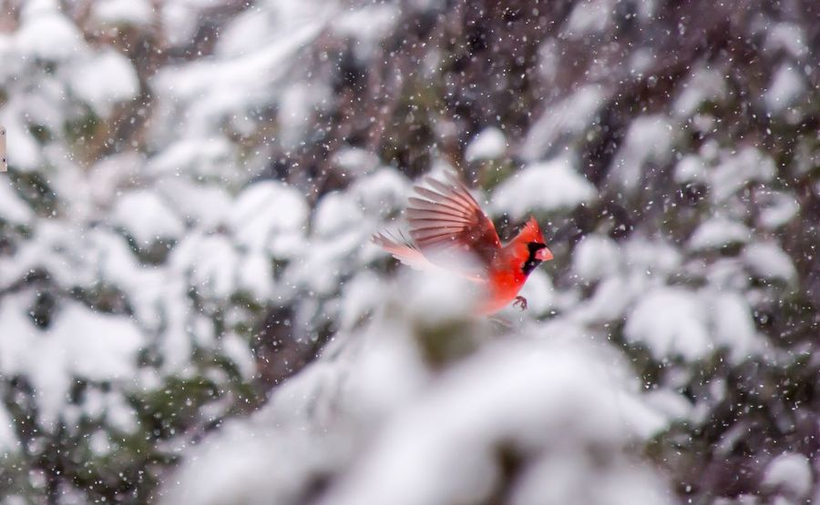 Cardinal Flying through snow with wings spread conceptual nature, love and freedom photography with vibrant red bird Getting Inspired WeekOnEyeEm Beauty In Nature Card Mood Backgrounds Inspirational Freedom Love Winter Wonderland One Animal Animal Themes Animals In The Wild Animal Wildlife Bird Nature Day Outdoors Winter Cold Temperature Red Beauty In Nature No People Flying Spread Wings Close-up Tree