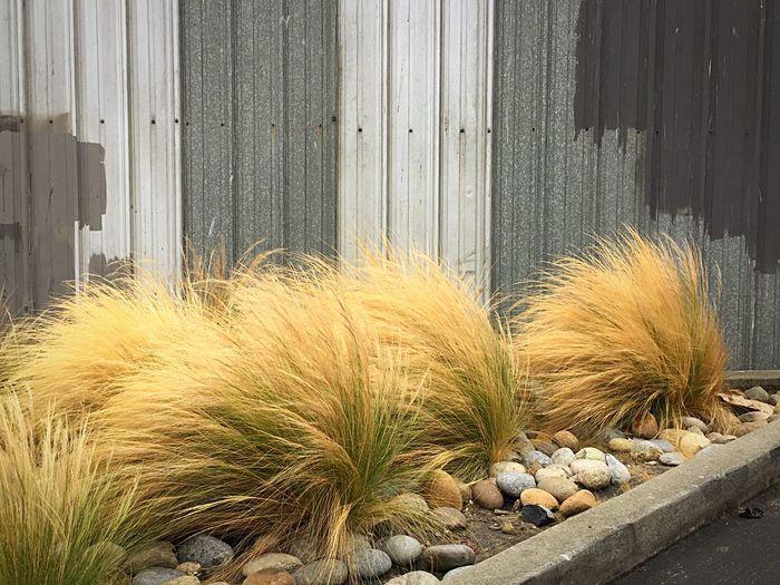 Mexican Feather Grass Stipa Tenuissima Nasella Tenuissima Feather Grass Grass Corrugated Iron San Francisco