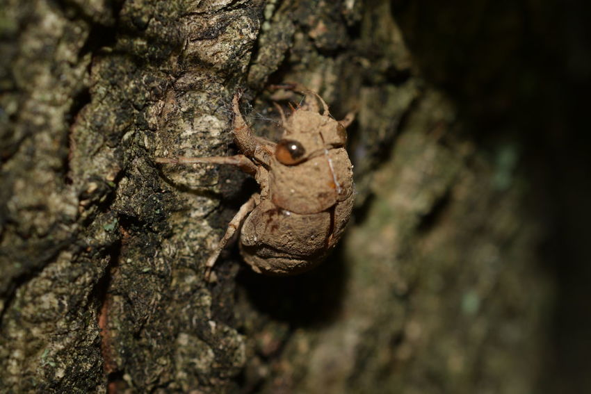Husk Of Cicada Camouflage Close-up Day Nature No People Outdoors Textured  Tree Tree Trunk