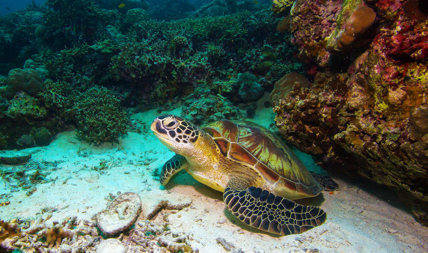 Turtle at the Philippines. Animals In The Wild ASIA Close-up Holiday Ocean Philippines Reptile Sabang Sabangisland Scuba Diver Scuba Diving Scubadiving Sea Sea Life Sea Turtle Travel Destinations Turtle Turtles UnderSea Underwater Wanderlust Underwaterphotography Underwaterworld Vacations Water