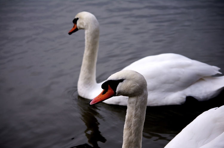 Alone Animal Themes Animals In The Wild Balance Beak Bird Lake No People Swan Swimming Two Animals Water White White Color Wildlife Zoology Natures Diversities Serene Stately Pair