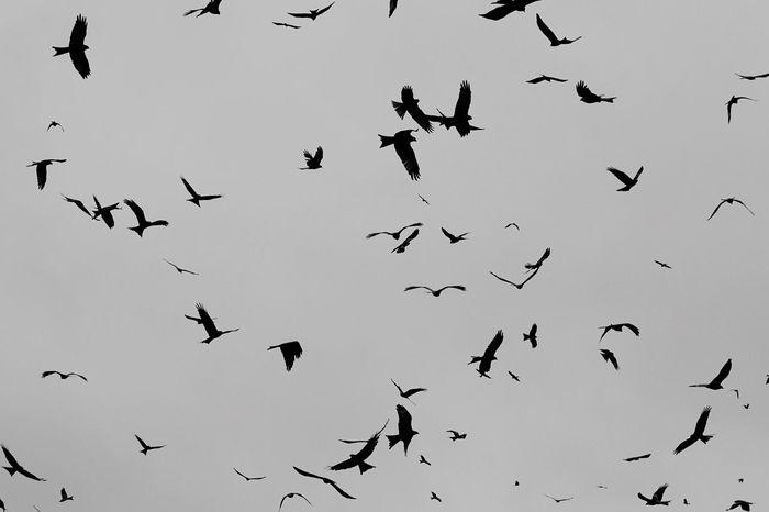 Bird Of Prey Raptor Bird Photography Red Kites In-flight Flock Of Birds